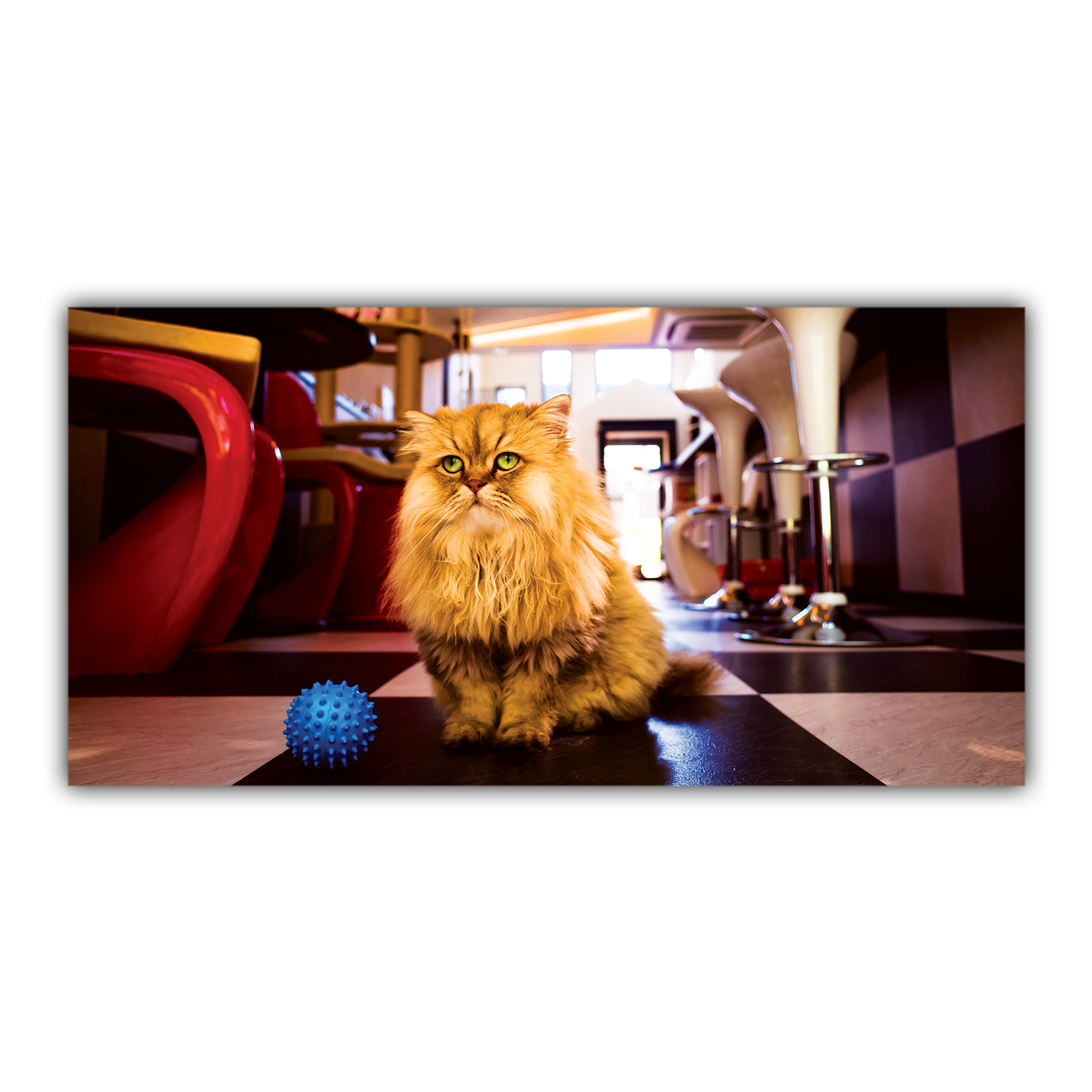 Chat Angora Bar Salon